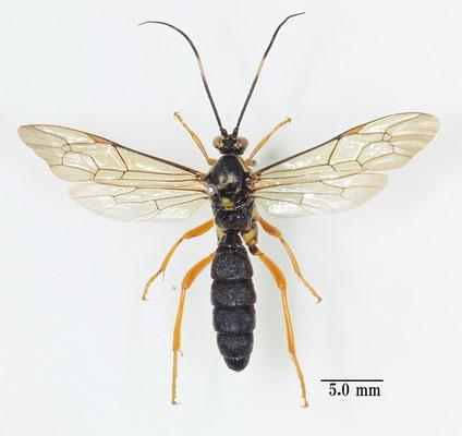 Psilomastax pyramidalis Tischbein, 1868 シロコブアゲハヒメバチ [det. So SHIMIZU]