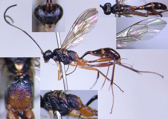 Calosphyrum bimaculatum Kusigemati, 1987 ♀ (KPM-NK 5000232) [det. Kyohei WATANABE]