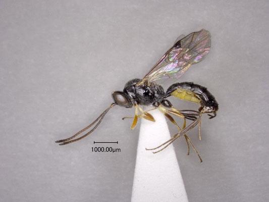 Stilbops auster Watanabe & Maeto, 2012 リュウキュウチビマルヒメバチ ♀ [holotype]