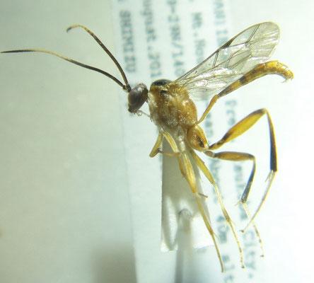 Brussinocryptus orientalis (Uchida, 1932) サキマルトガリヒメバチ [det. So SHIMIZU]