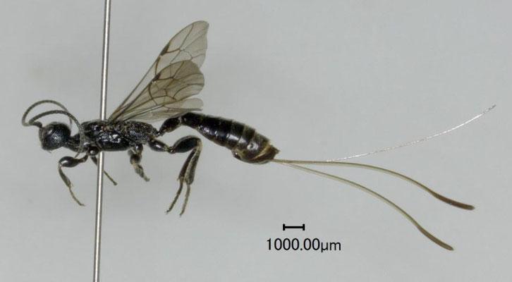 Aplomerus japonicus Watanabe & Matsumoto, 2010 ♀ [paratype]