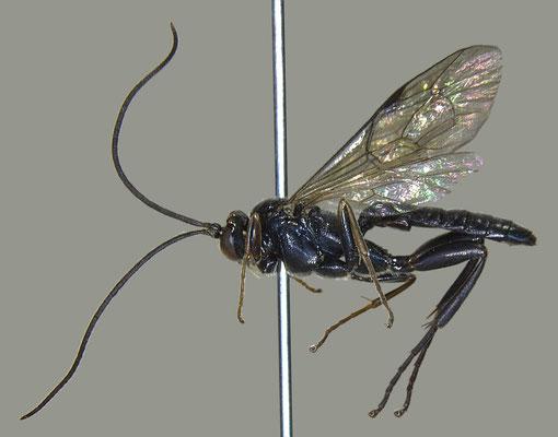 Pimpla pluto Ashmead, 1906 クロフシヒラタヒメバチ male [det. Masato ITO]