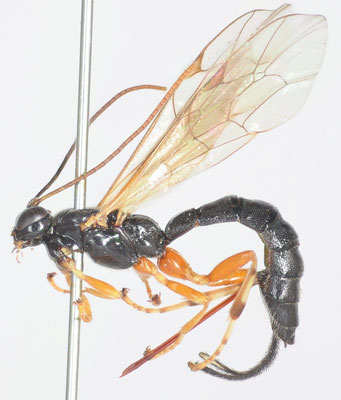 Endromopoda annulitarsis (Ashmead, 1906) ♀ [det. Kyohei WATANABE]
