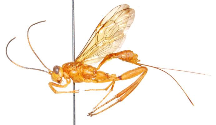 Spilopteron luteum (Uchida, 1930) ♀ [Det. Masato ITO]