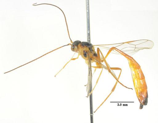 Agrypon japonicum Uchida, 1928 ヒゲナガコンボウアメバチ [det. So SHIMIZU]
