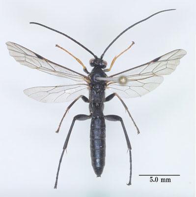 Pimpla aethiops Curtis, 1828 イチモンジヒラタヒメバチ male [det. So SHIMIZU]
