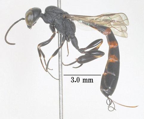 Gasteruption assectator (Linnaeus, 1758) ヒメコンボウヤセバチ [det. So SHIMIZU]