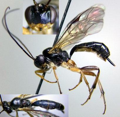 Astiphromma dorsale (Holmgren, 1858) コブフタオヒメバチ ♀ [det. Kyohei WATANABE]