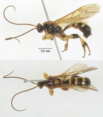 Colpotrochia (Colpotrochia) nipponensis Uchida, 1930 キマダラマルヒメバチ [det. So SHIMIZU]