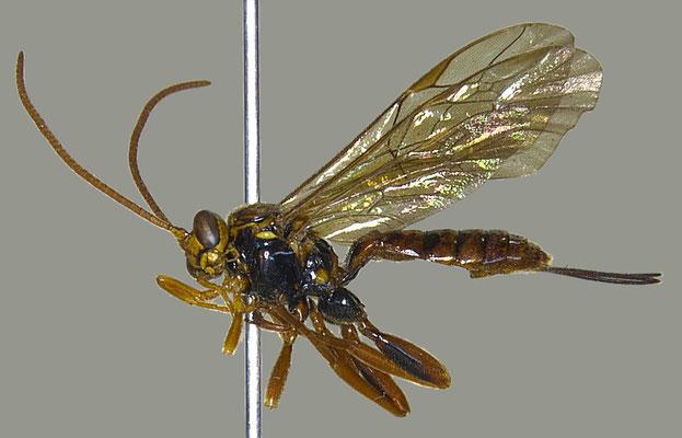 Theronia (Theronia) atalantae gestator (Thunberg, 1822) チャイロツヤヒラタヒメバチ [det. Masato ITO]