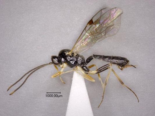 Stilbops coeloclypeus Watanabe & Maeto, 2012  クロチビマルヒメバチ ♀ [holotype]