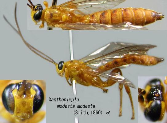 Xanthopimpla modesta modesta (Smith, 1860) [det. Kyohei WATANABE]