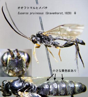 Euceros pruinosus (Gravenhorst, 1829) オオフトマルヒメバチ [det. Kyohei WATANABE]