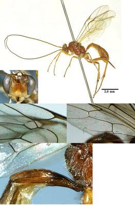 Astiphromma unicolor Uchida, 1933 アメイロフタオヒメバチ ♀ [det. Kyohei WATANABE]