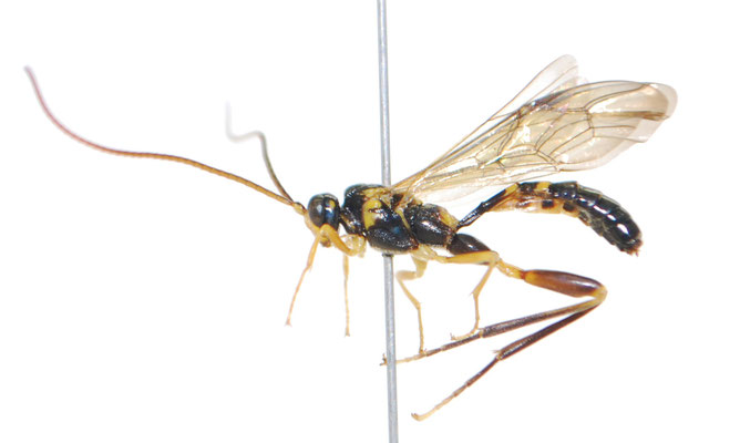 Arotes moiwanus (Matsumura, 1912) モイワケンヒメバチ ♂ [Det. Masato ITO]