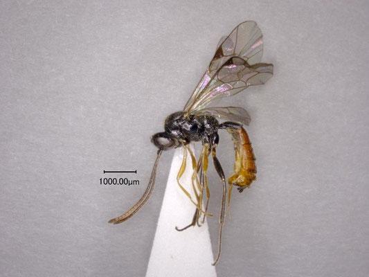 Stilbops montanus Watanabe & Maeto, 2012 ミヤマチビマルヒメバチ ♀ [holotype]
