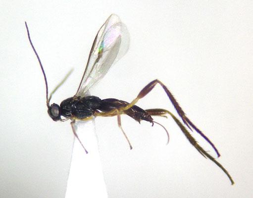 Aneurobracon philippinensis (Muesebeck, 1932) ワタナベコマユバチ [det. Shunpei FUJIE]