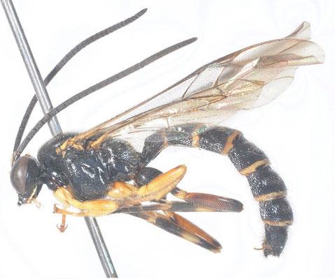Sericopimpla melanomerus Momoi, 1977 ♂ [det. Kyohei WATANABE]