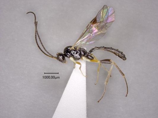 Stilbops coeloclypeus Watanabe & Maeto, 2012  クロチビマルヒメバチ ♀ [paratype]