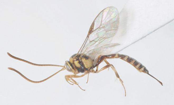 Brachycyrtus nawaii (Ashmead, 1906) ナワニジヒメバチ ♀ [det. Kyohei WATANABE]