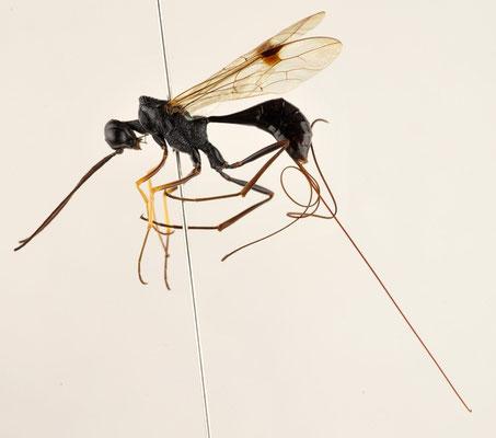 Pristaulacus anijimensis Watanabe, Konishi & Turrisi, 2013 アニジマセダカヤセバチ [paratype ♀]