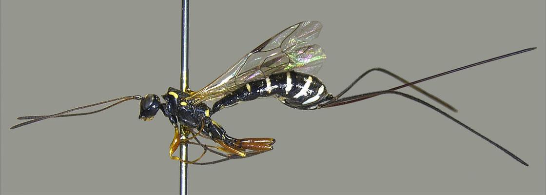 Triancyra galloisi (Uchida, 1928)  ガロアオナガバチ [det. Masato ITO]