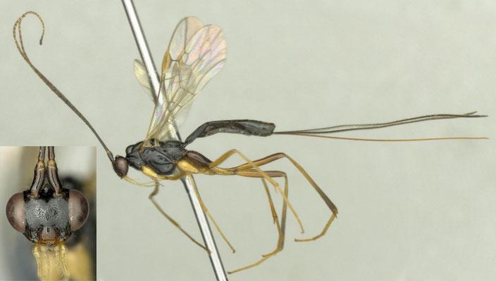 Macrocentrus bicolor Curtis, 1833 ♀ [det. Shunepi FUJIE]