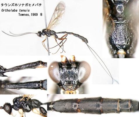 Ortholaba tenuis Townes,1969 タウンズホソナガヒメバチ female [det. Kyohei WATANABE]