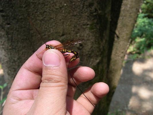 Megarhyssa jezoensis (Matsumura, 1912) エゾオナガバチ