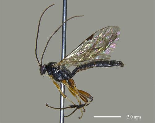 Pimpla aquiloonia japonica (Momoi, 1973) [Det. Masato ITO]