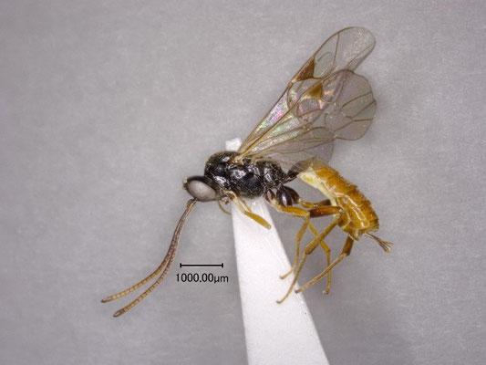 Stilbops orientalis Kasparyan, 1984 トウヨウチビマルヒメバチ ♀ [det. Kyohei WATANABE]