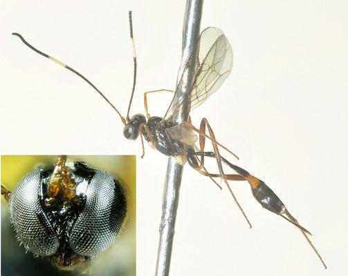 Klutiana jezoensis (Uchida, 1957) エゾホソチビアメバチ [det. So SHIMIZU]