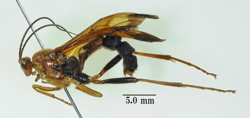 Holcojoppa mactator (Tosquinet, 1889) アゲハヒメバチ [det. So SHIMIZU]