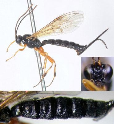 Acropimpla pictipes (Gravenhorst, 1829) Acropimpla leucostoma (Cameron, 1907) チビフシオナガヒメバチ  ♀  [det. Kyohei WATANABE]