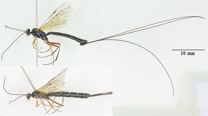 Ephialtes hokkaidonis Uchida, 1928 エゾホソオナガヒメバチ ♀  [det. So SHIMIZU]