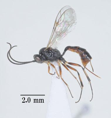 Meloboris leucaniae Kusigemati, 1972 ホソアオバヤガチビアメバチ female [det. So SHIMIZU]