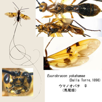 Euurobracon yokahamae (Dalla Torre, 1898) ウマノオバチ ♀ [det. Kyohei WATANABE]