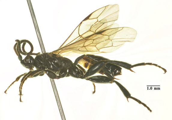 Hyperacmus crassicornis (Gravenhorst, 1829) ニセアシブトヒメバチ ♀ [det. Kyohei WATANABE]
