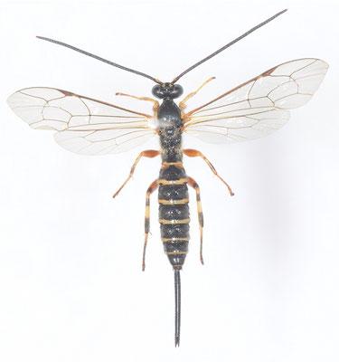 Seriopimpla erythromerus Momoi, 1977 ♀ [det. Kyohei WATANABE]