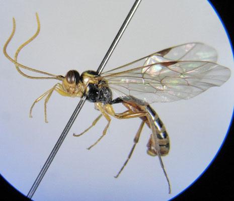 Cteniscus quadriceps (Uchida, 1931) ヒロズツヤハバチヤドリヒメバチ [det. Kyohei WATANABE]