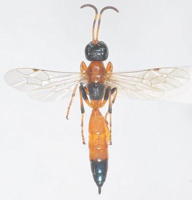 Auberteterus alternecoloratus (Cushman, 1929) [det. Kyohei WATANABE]