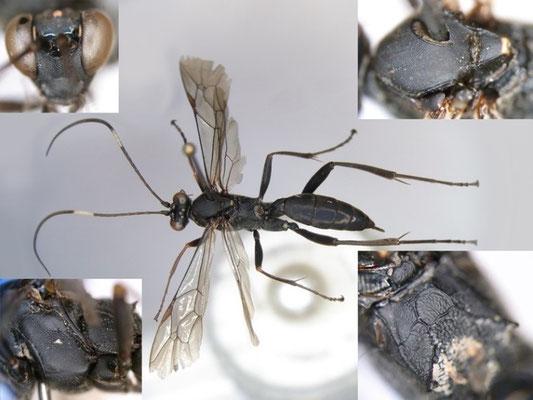 Zanthojoppa speciosa (Uchida, 1926) クロヒゲナガヒョウモンヒメバチ ♀ [Det. Kyohei WATANABE]