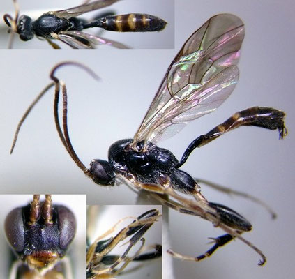 Oxytorus obtusus (Momoi, 1965) ♂  [det. Kyohei WATANABE]