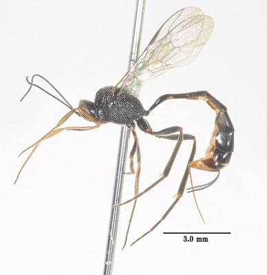 Anomalon coreanum (Uchida, 1928) [det. So SHIMIZU]