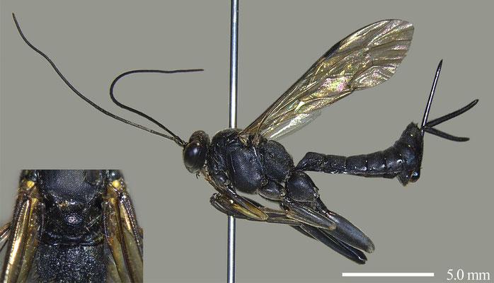 Pimpla luctuosa Smith, 1874 マイマイヒラタヒメバチ [det. Masato ITO]