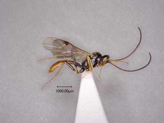 Stilbops montanus Watanabe & Maeto, 2012 ミヤマチビマルヒメバチ ♂ [paratype]
