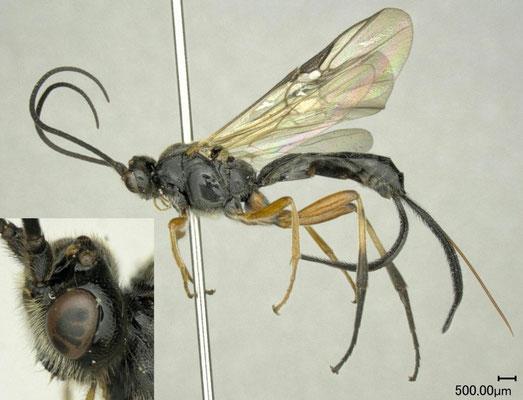 Earinus elator (Linnaeus, 1758) ♀ [det. Shunpei FUJIE]