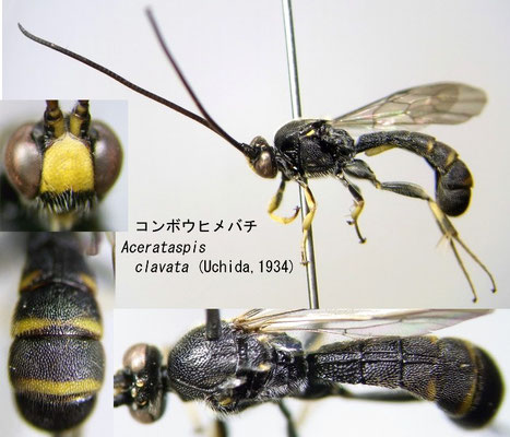 Acerataspis clavata (Uchida, 1934) コンボウヒメバチ [det. Kyohei WATANABE]