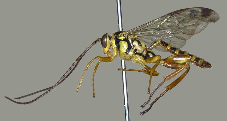 Echthromorpha agrestoria notulatoria (Fabricius, 1804) [det. Masato ITO]