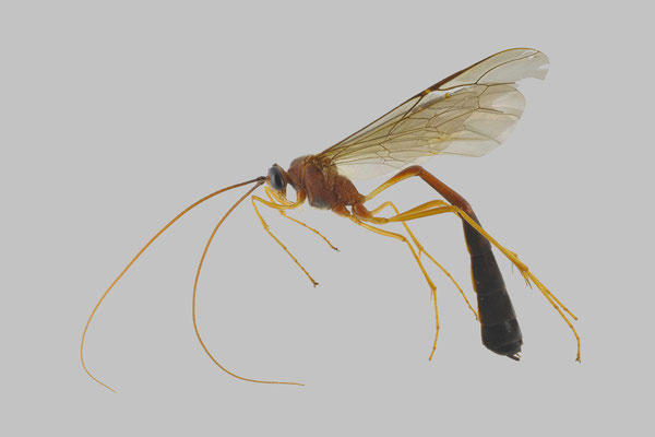 Enicospilus nigristigma Cushman, 1937 [det. So SHIMIZU, 2016]